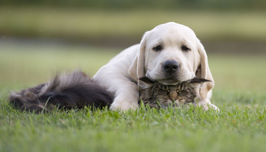 Veterinary Referral and Emergency Center - Labrador Retriever and Cat