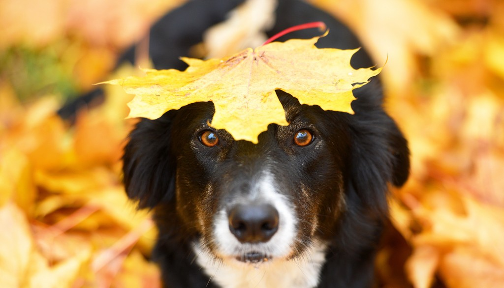 Emergency care for border collie