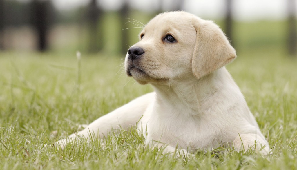 Veterinary Referral and Emergency Center - Labrador Retriever