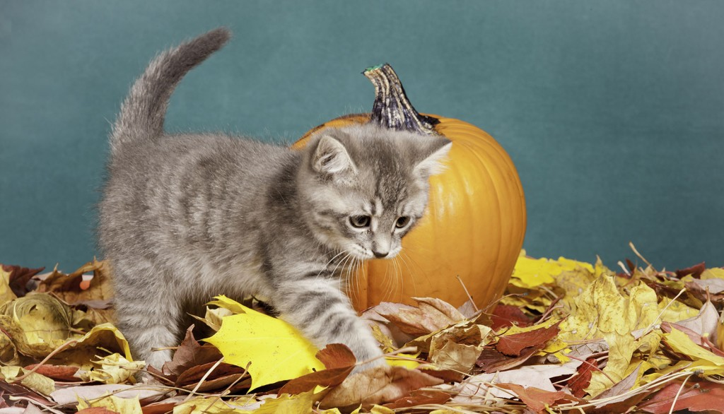 Veterinary Referral and Emergency Center - Halloween Cat