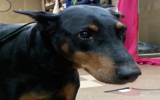 Veterinary Referral and Emergency Center - Angel Fund Success Stories - Venus the Dog