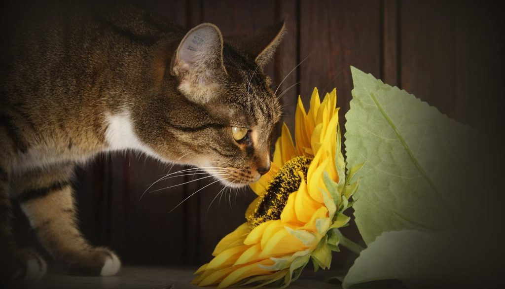 Cat smelling a sunflower